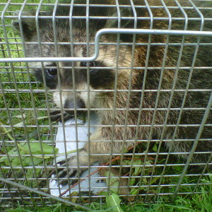 Squirrel Traps Greenshield Pest Control