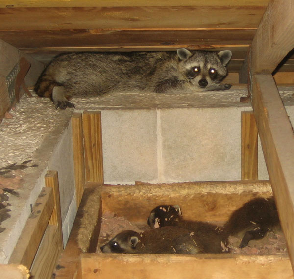 Raccoon In Attic – The Damages