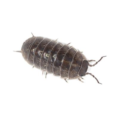Pillbugs and Sowbugs