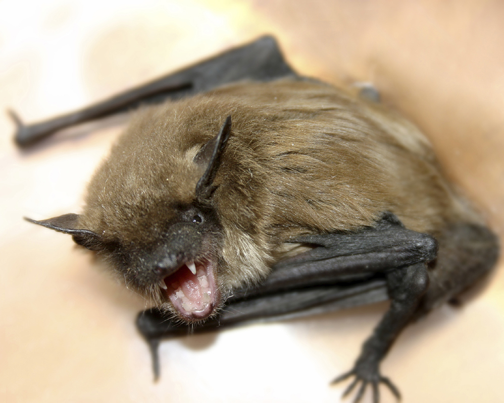 The Most Important Reason For Understanding Bats