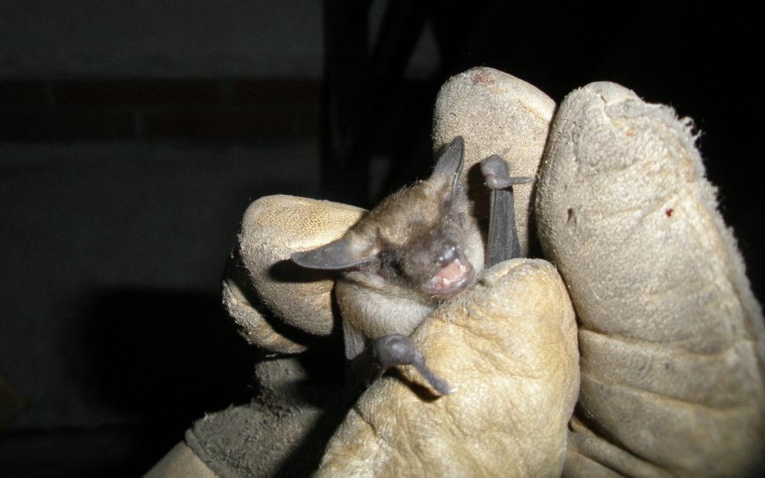 Bat Control – Trenton
