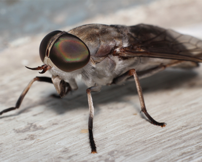 Do You Have Cluster Flies In Your Home?