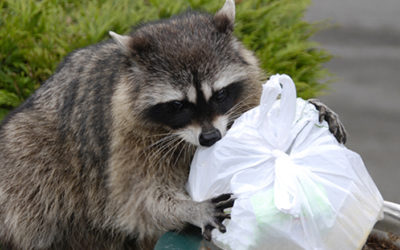 The 3 Best Ways to Keep Raccoons Out of your Garbage