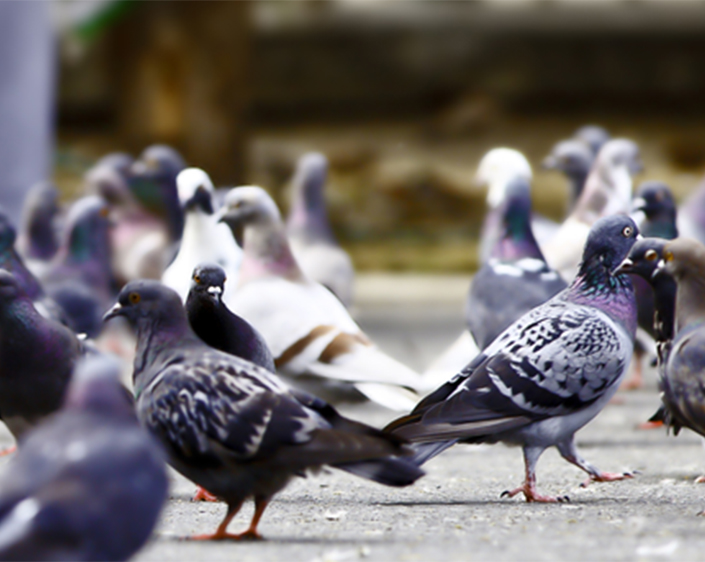Three Easy Ways To Immediately Keep Pigeons From Your Building