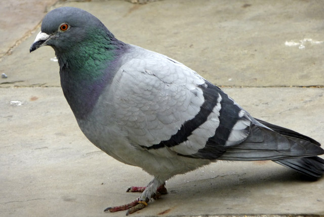 Interesting Things You Didn't Know About Pigeons