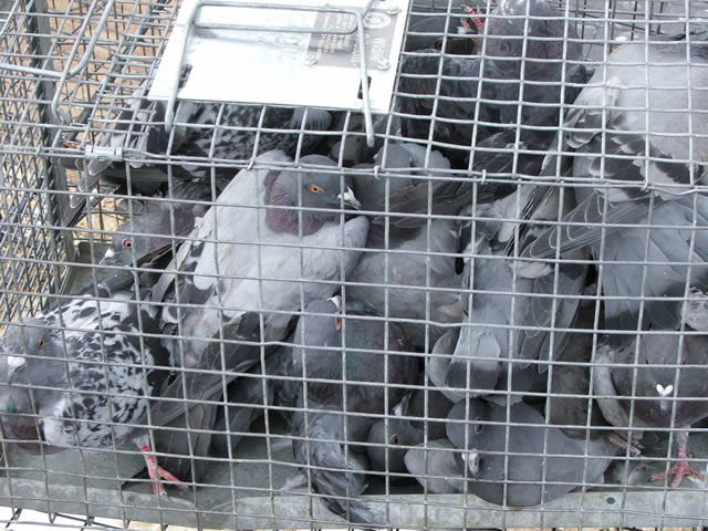 Pigeon Control In Kingston