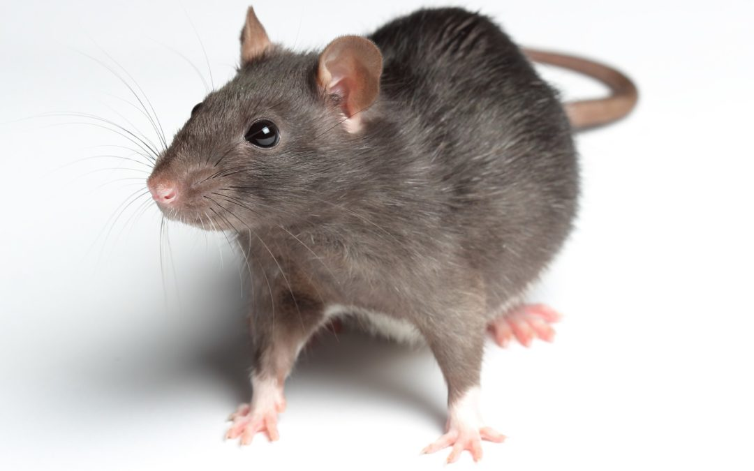 5 Things About Rats To Make You Anxious
