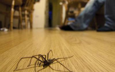 Brown Recluse Spider Peterborough