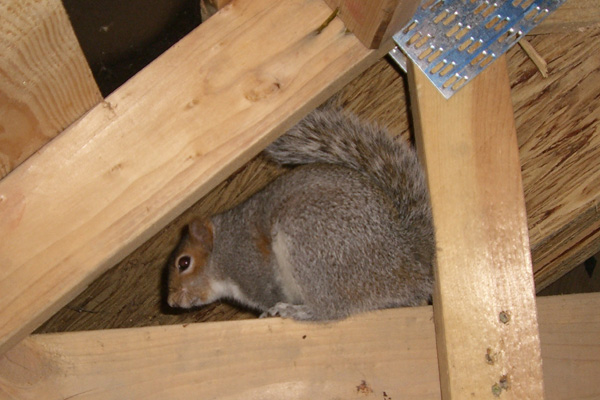 How to Deal With Squirrels in Your Attic