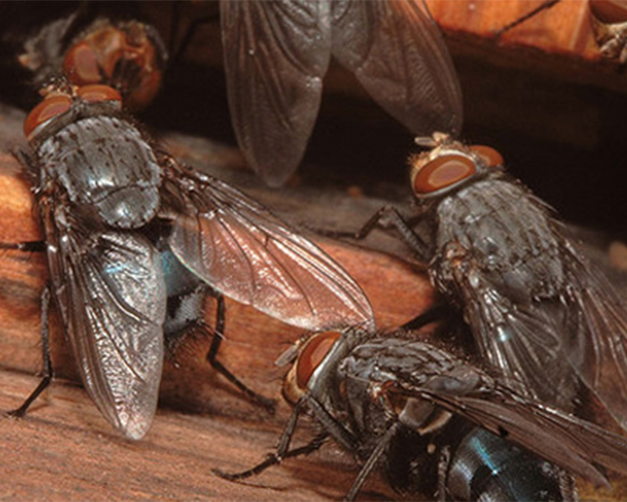 How To Treat A Cluster Fly Infestation