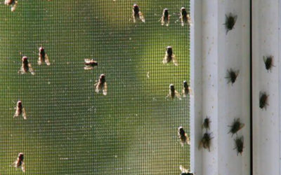 3 Simple Ways Cluster Flies Will Quickly Enter Your Home