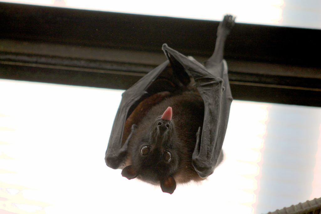 Bats hiberate in your home during the winter.