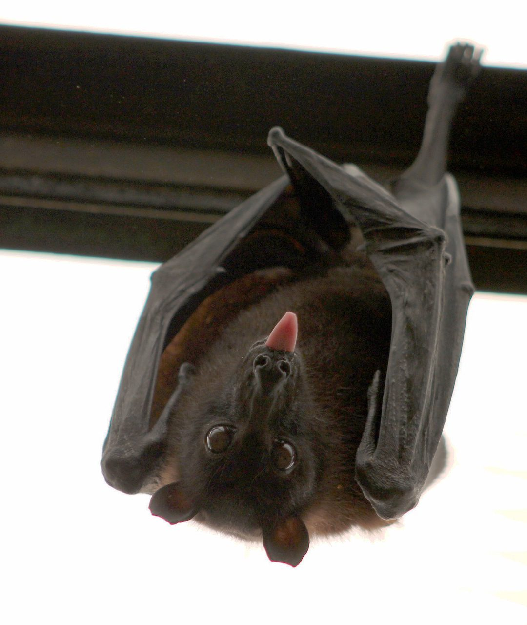 The Most Important Reason Why Bats Hibernate In Your Home