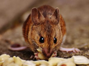 Ensure your home is protected from a mouse invasion.
