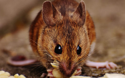 How To Keep Mice Out Of Your Home