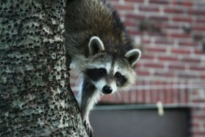 Make sure you quickly remove wildlife from your attic.