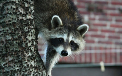 How To Get A Squirrel/Raccoon Out Of My Attic