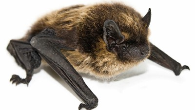 Bats Enter Your Home During the Winter to Hibernate