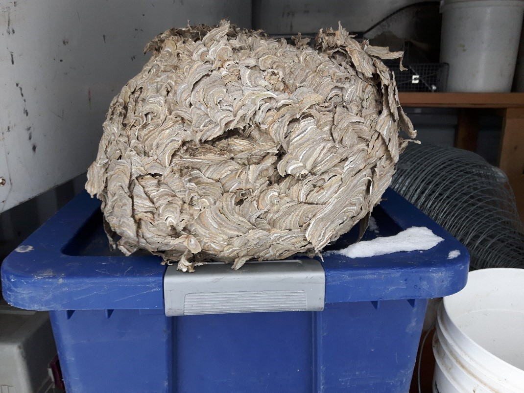 Huge Wasp Nest Found in Homeowner's Attic
