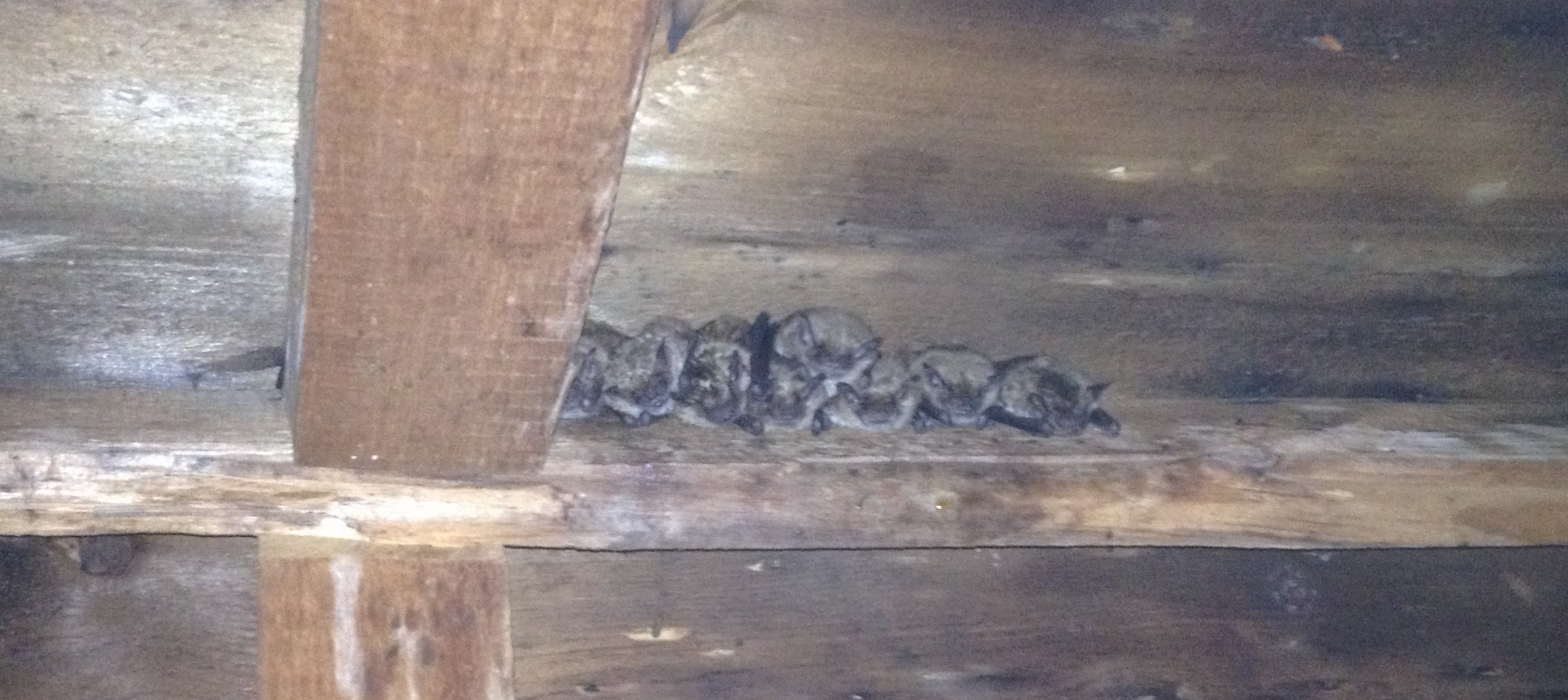How to Get Rid of Bats in Your Attic