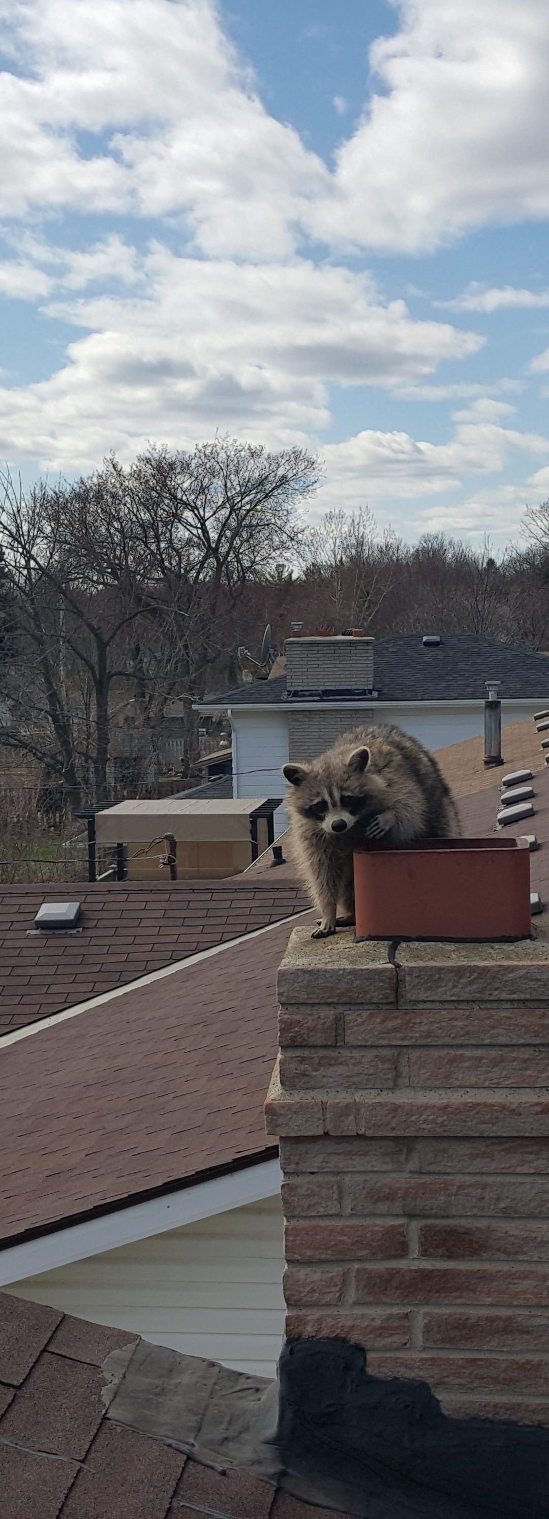 How to Deal With Raccoons in Your Chimney