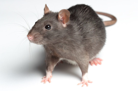 How to Deal With Rats in Your Basement