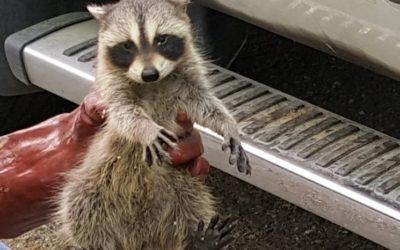Raccoon Removal Belleville