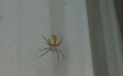 Brown Recluse Spider Gananoque
