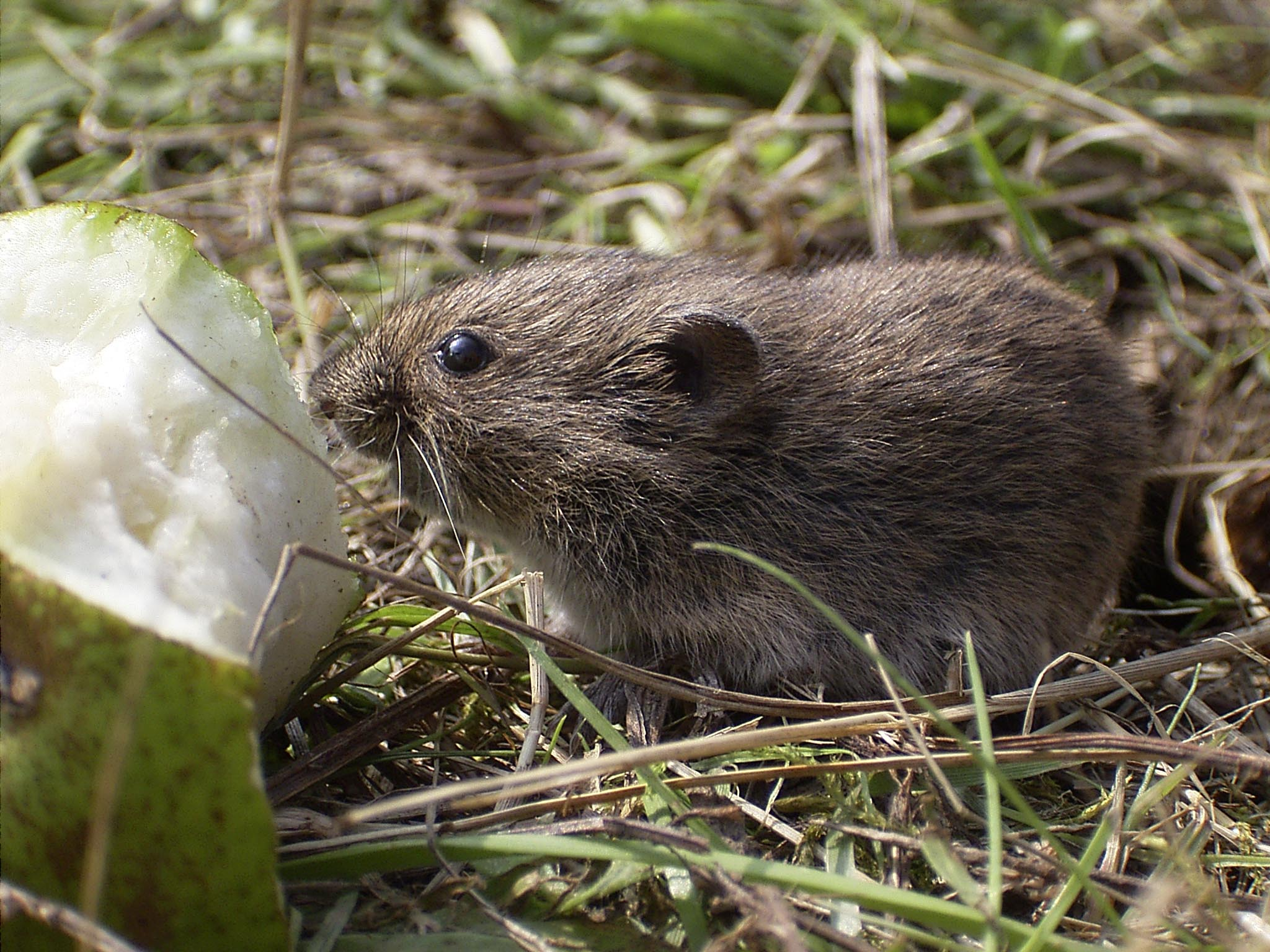 Mouse Removal Gananoque