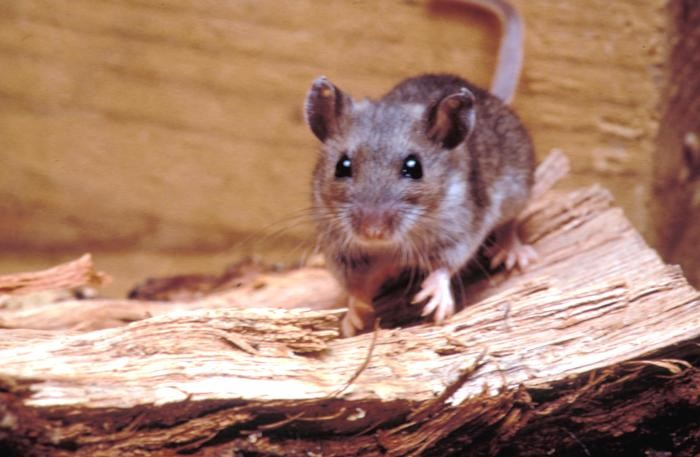 Spring is Here: Mice Are Still Breeding and Can Wreak Havoc in Your Home!