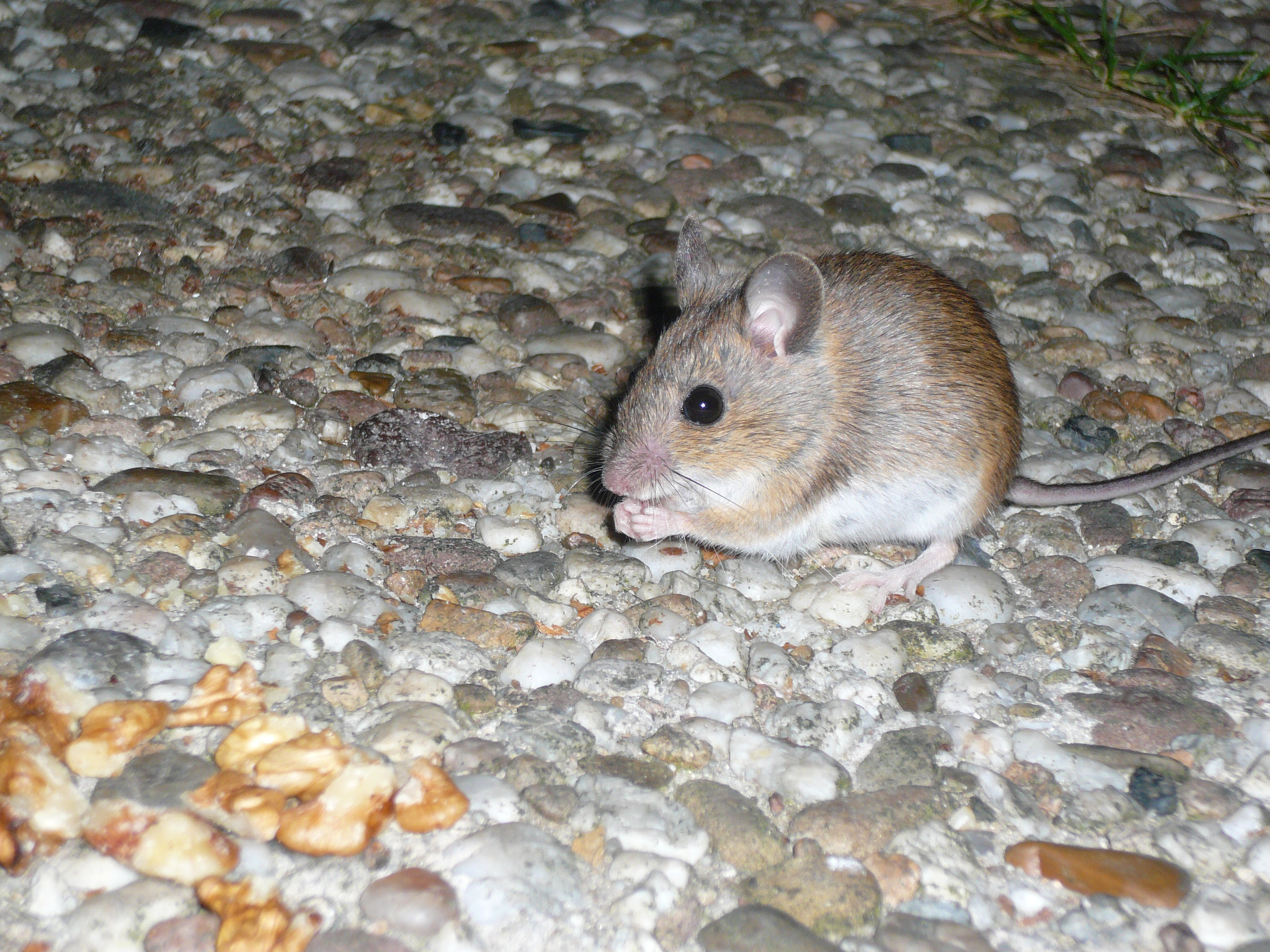 Mouse Removal Kingston