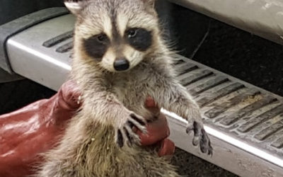 Raccoon Removal Picton
