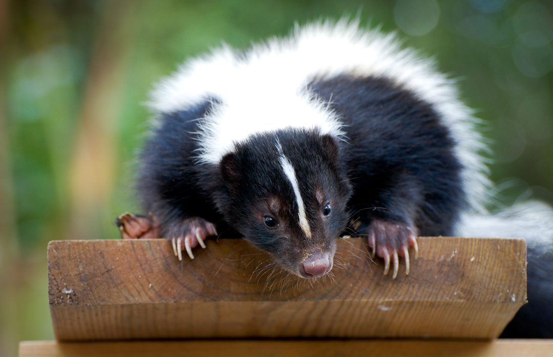 Spring is Here and So Are Baby Skunks!