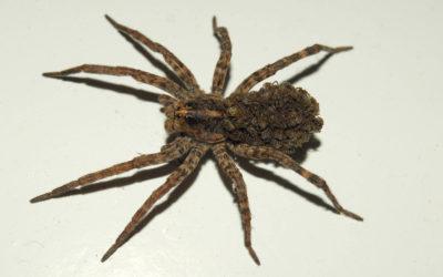 Brown Recluse Spider Trenton