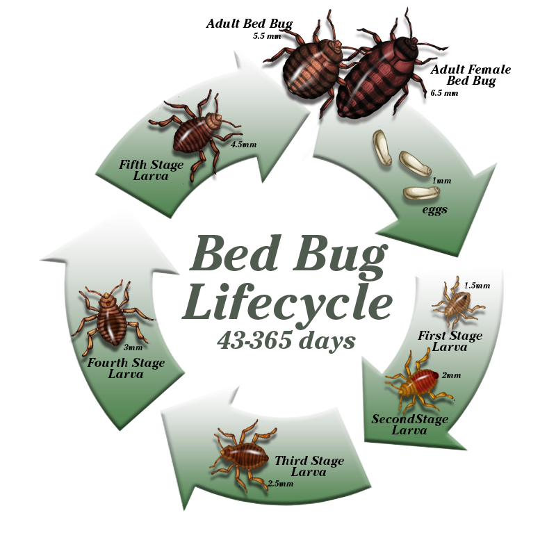 Bed Bugs Greenshield Pest Control